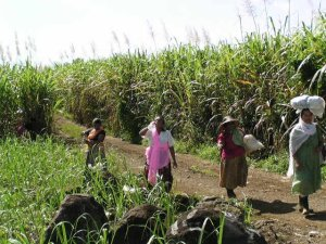 Women farmers on a sugar plantation in Mozambique.